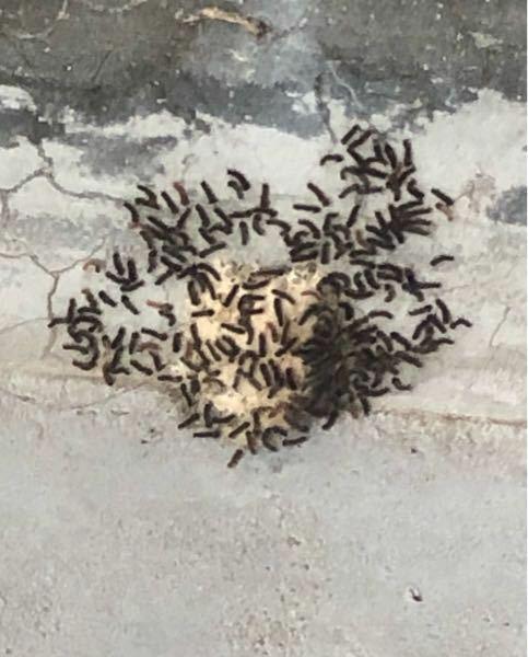 今ベランダに出たら何かの虫が生まれてました。これ何の虫か分かりますか?冬の間、何か白い塊があるなーとは思ってたんですが、生まれる前に駆除しておくんだったと後悔してます…