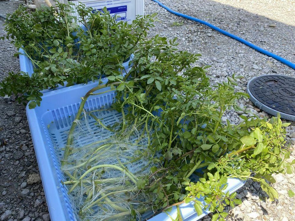 先日ご近所さんからクレソンを頂きました。 今までは産直などで買って食べていたのですが、せっかくの機会なので水耕栽培にチャレンジすることにしました。 そして、水耕栽培の開始。プラザルを水道水で満たし液肥を少し入れ、10日後に間引き(漬かっていたり折れたり黄色くなっていたりしている葉っぱの除去)を行ったところ疑問が出てきてのですが…。 ①もらった時は青々とした茎と葉っぱで、食べてもとてもおいしか...