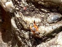 庭仕事していて見つけたクモです。 一緒に写っているのは赤ダニ?に 威嚇のポーズ。 ちょこまかした動きが可愛いかったです。 クモの名前をお分かりの方がいらしたら お願いいたします。
