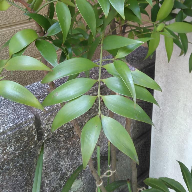 これは何の木ですか?葉脈がとても珍しいです。縦に入っています。庭に勝手に生えてきてキレイだから鉢植えにしたそうです。