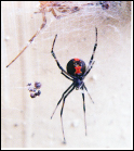 【蜘蛛の同定】 この蜘蛛、なんの種類か分かる方いらっしゃいますか? セアカゴケグモ、クロゴケグモ、アカボシゴケグモではありません。 心当たりのあるワードで調べても出てこずに困っています。 図鑑も調べましたが、これに似た蜘蛛は出てきませんでした。