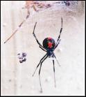 【蜘蛛の同定】 この蜘蛛、なんの種類か分かる方いらっしゃいますか? セアカゴケグモ、クロゴケグモ、アカボシゴケグモではありません。 心当たりのあるワードで調べても出てこずに困っています。 図鑑も調べ...