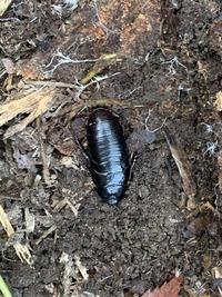 閲覧注意  こんなゴキブリがいたのですが見たことありません。 何という名前のゴキブリかわかる方いらっしゃいますか?? 場所は奈良県です。