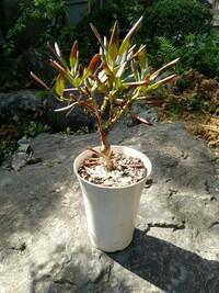 シャクナゲの葉っぱが先だけどんどん茶色くなってきます どうすればよいのでしょうか