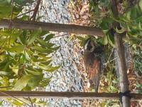 最近庭によく来ている鳥です。なんという鳥でしょうか? 来るのはいつも一羽です。近寄っても飛び立たないので警戒心薄そうです。