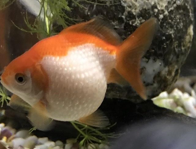 この金魚の名称を教えていただけませんか?