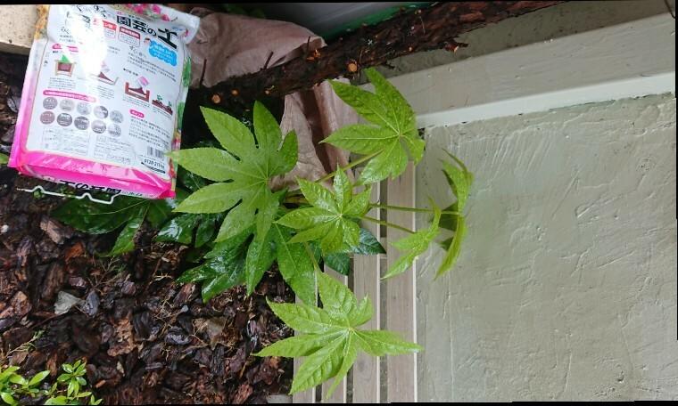 庭に雑草が生えてきました。 これはなんでしょうか。葉が雑草ぽくなく少しかわいいので一年くらい放置しています。 大きくならないよう剪定すればそのまま伐根せずにすみますでしょうか。 教えて下さい。 よろしくお願いします。
