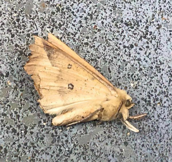 蛾の種類 写真の蛾について 種類が分かる方、ご教示ください。 本日福岡県で撮影したものです。 また、写真は死骸となります。