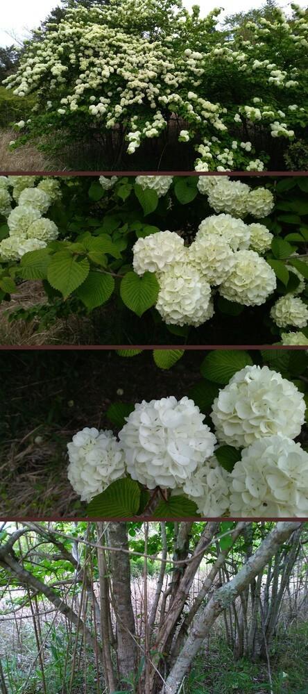 樹木の名前を教えてください。 千葉県で4月中旬撮影です。 全高は4,5メートルです。 花の一塊といいますか、群れを成して球状になってる部分の直径が4~8cmくらいです。 幹は太いのでも5cmくらいだったかと。 第一印象はあじさいなんですが、ところどころ違和感があります。