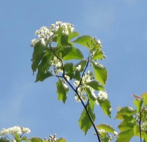見上げる大きさの木の名前を教えてください、 岐阜県米田白山で、 撮影20210415