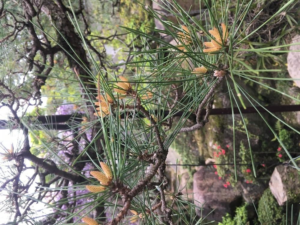 松の芽が花のようになる症状は どういう状態なんでしょうか? 教えてください。