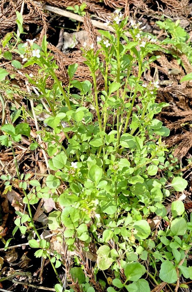 植物の名前を教えてください。 沼地に生えるタネツケバナっぽい植物で、ミチタネツケバナより大型です。