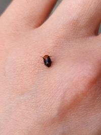 この虫はてんとう虫ですか?  種類がわかる方、教えて下さい!