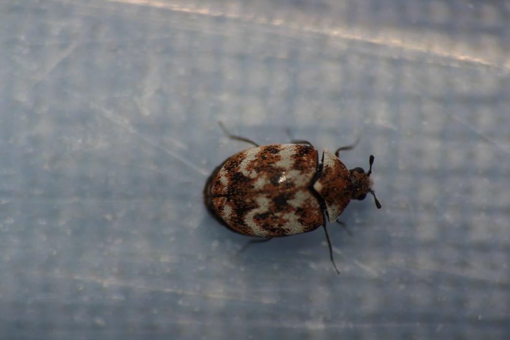 こちらの虫は何でしょうか。大きさは4〜5ミリくらいだったと思います。回答よろしくお願いします。
