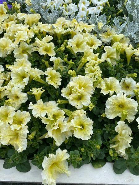 この花の名前を教えてください。 自然に咲いていたものではないのでこの時期のものではないかもしれないのですが…