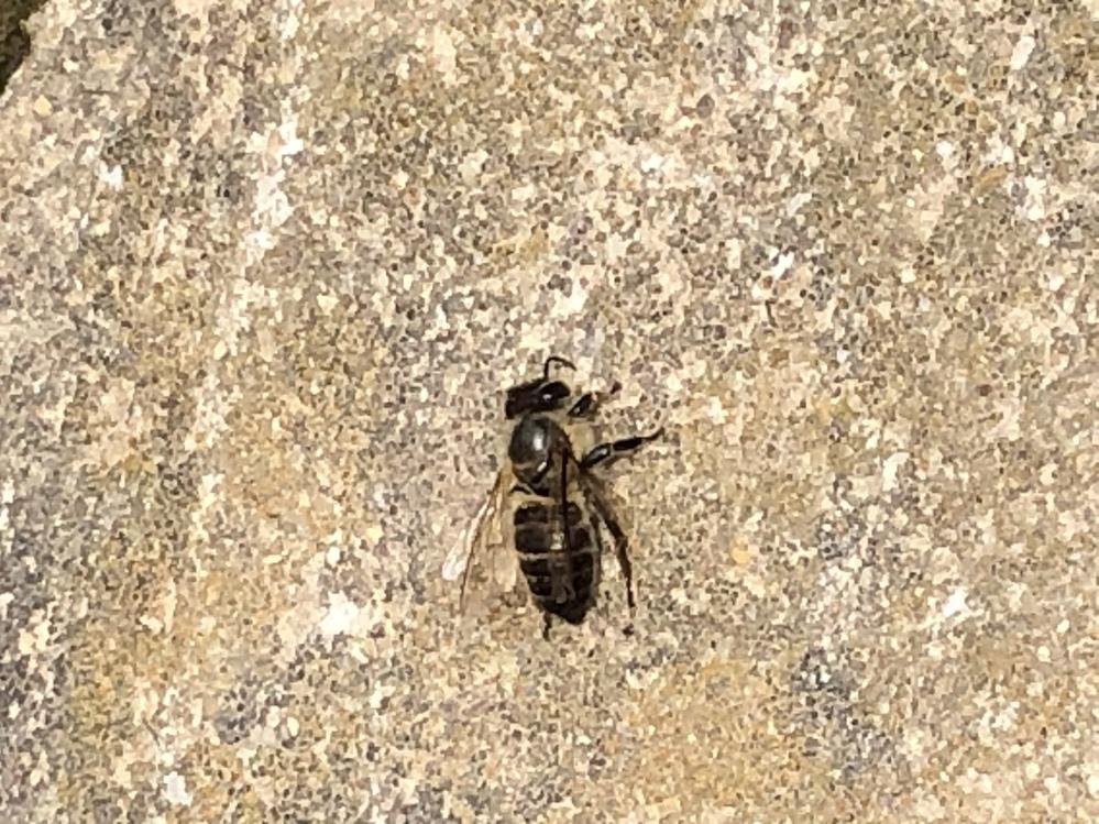 至急お願いします…! 母が蜂に刺されました。 この蜂は何の種類でしょうか? もふもふしているところがあるので、ミツバチの種類でしょうか…