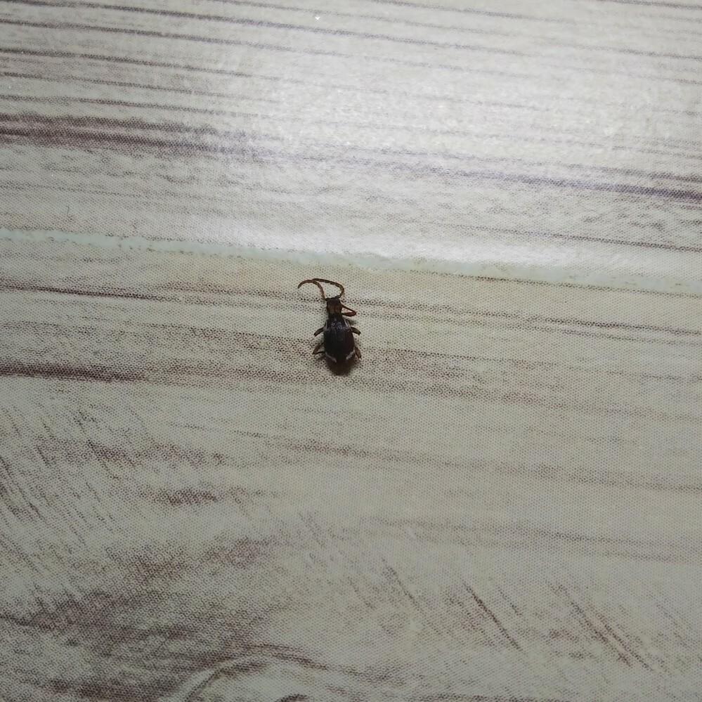 何て言う虫か分かりますか? 体長5ミリ位 茶系 北海道