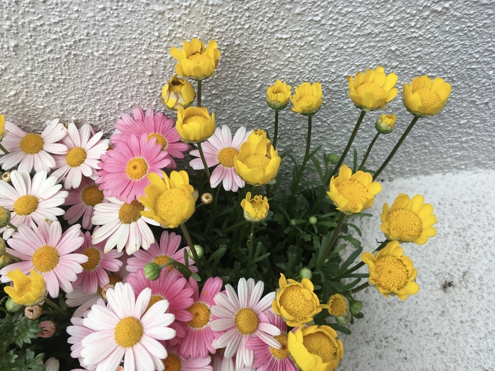 この黄色い花の名前はなんでしょうか?公園に咲いていた花です。ピンクの花はデイジーでしょうか。 ご存知の方、是非教えてください! よろしくお願いします。