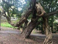 外出先で不思議な木を見つけました。 隣の木にぐりぐりと絡みつきながら横の方へと伸びています。  この木はなんという種類でしょうか? 巻きつくタイプの木なのか、何かの要因があったのか気になります。
