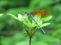 ニホンカワトンボでしょうか? 4月16日福岡県の溜池近くの林で観察しました。2,3匹離れ離れで飛んでいました。