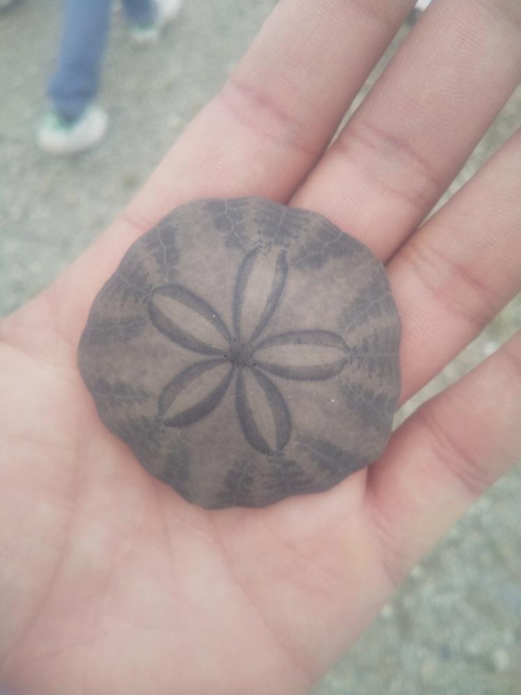 千葉県九十九里浜で拾ったものなのですがこれは貝殻ですか?なんなんでしょう。知ってる方教えてください