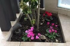あなたならここに何を植えますか? ご覧いただきありがとうございます。 玄関扉を開けると目の前に添付写真の花壇があります。 北向きの半日蔭。 風通しは良い。 花壇の大きさは手前55cm, 右50cm, 左85cm, 奥70cmの直角台形。 中央には高さ2メートルのソヨゴ。 関東南部。 12月にシクラメンを3株植え、間もなく花期終了のため植替えします。 シクラメンは綺麗に咲き続けましたが、縦...