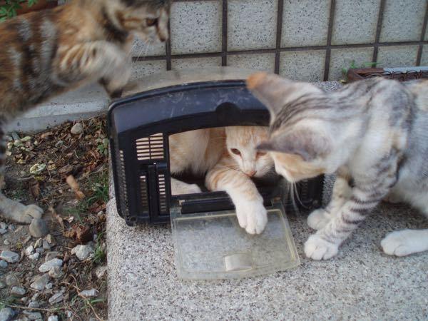 猫について質問です。以前この3びきの猫を飼っていました。3匹一緒にうちにやってきて、おそらく捨て猫かなと思っていました。白い真ん中の猫はオス、ほかはメスです。 ここでふと気になったのですが、3匹は柄は同じなのですが、毛色が全く違うじゃないですか。この3匹が兄弟じゃない可能性ってありますか?