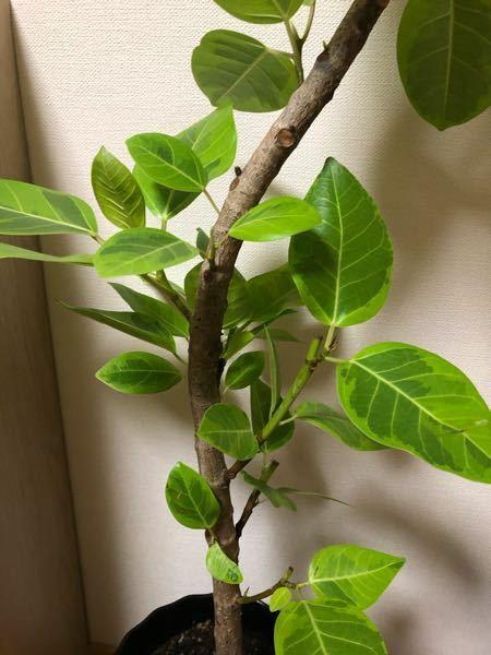 この観葉植物なんていう名前ですか。 あと、お世話の仕方教えてください。日の当てかたや水のあげかたなど。。葉っぱがくるっと曲がってしまってます。元からならいいのですが、、、無知でごめんなさい ♂️