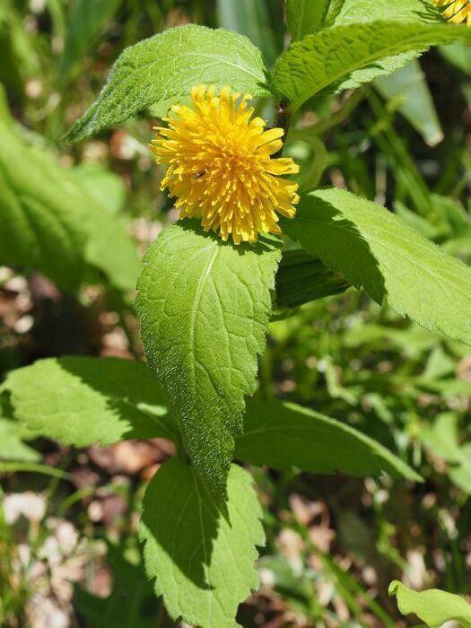 昨年の6月に尾瀬ヶ原で写した花です。 タンポポだとばかり思っていましたが、見直してみると、葉がまったく違っていました。 この画像で名前わかる方、教えてください。 もしくは、タンポポの花の周囲にたまたま他の植物の葉があるだけでしょうか?