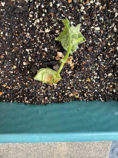家庭菜園の不調の質問です。 家のプランターで家庭菜園をしています。 トマト、茄子、ピーマン、パプリカ、唐辛子、獅子唐、ゴーヤ、胡瓜、大葉、スナップエンドウ、そら豆、さやえんどう、南瓜などをそれぞれ5~10株ほど育ててます。 ホームセンターなどで売られている100~200円ほどの苗を植えてます。 胡瓜以外は殆ど枯れずに成長するのですが、胡瓜だけは毎年成長する確率が10~20%程です。 胡瓜だけ...