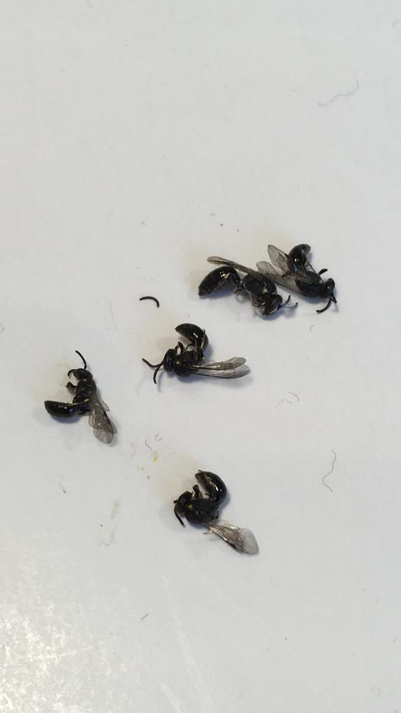 家の屋根裏収納に死んでいました。 この虫は何でしょうか? バルサンなど焚いておけば絶滅するでしょうか? ほぼ締め切っているので、 どこから入ったのかもよくわかりません。