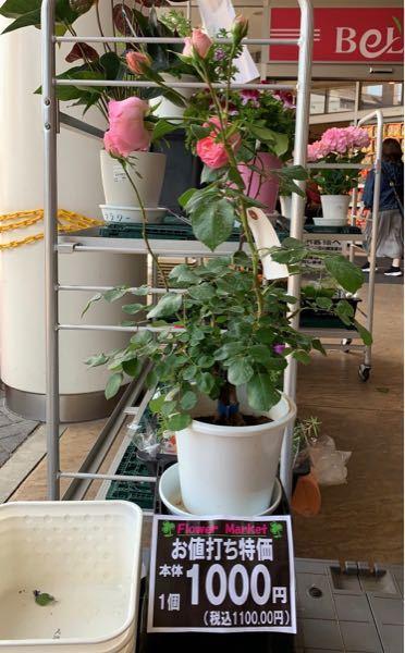 スーパーでバラの鉢植えが売っていました。よく見ると、2本植えみたいです。品種はFL ギィ ドゥ モーパッサンでした。根が一部むき出しになっていました。同じ品種で2本植えって可能なのでしょうか?