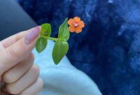 雑草(花)の名前を教えて下さい。 庭に幾つかの雑草が生えているのですけど、ハコベが多く生えています。  動物の餌にする為にハコベの頭の部分をいつもちぎっているんですけど、ちぎった後の茎から見慣れぬ花が咲きました。  1cmないくらいのオレンジのお花で、花弁は5枚、中心部分は少しだけ紫色、です(画像参照)。  見にくいのですが、葉っぱと茎の接する部分から、ほそーい茎が不自然に伸びて咲いています...
