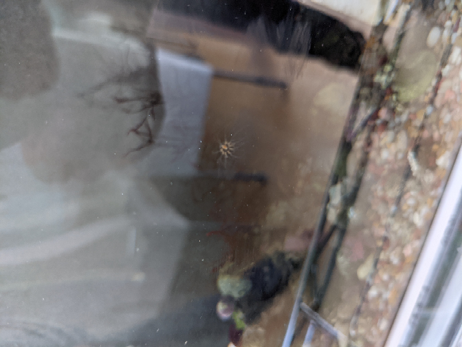 画面真ん中にいる生物の名前と害があるか教えて下さい。 海水の水槽に生殖しはじめました。 飼っているのはヤドカリです。 水槽を掃除してもまたでてきます。 お願いします