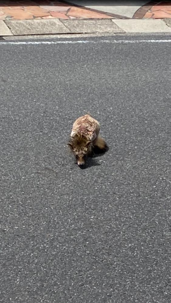 うちの前をのこのこ歩いていました。この動物は何か、わかる方、教えてください。