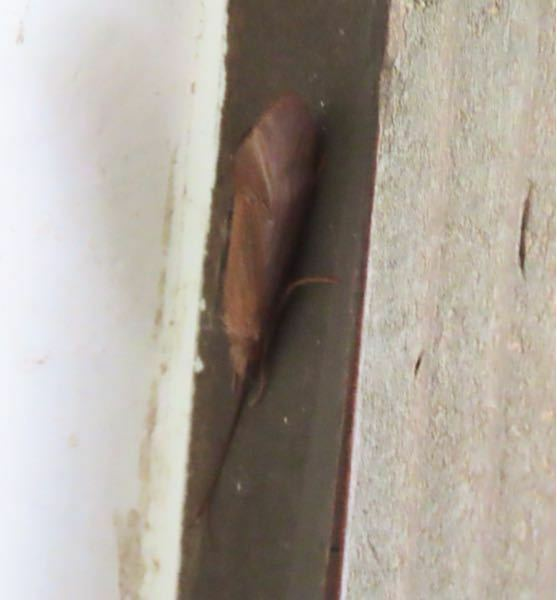 昆虫の種類 写真のトビケラ?について 種類が分かる方、ご教示ください。 昨日福岡県で撮影したものです。 画像が不鮮明です。