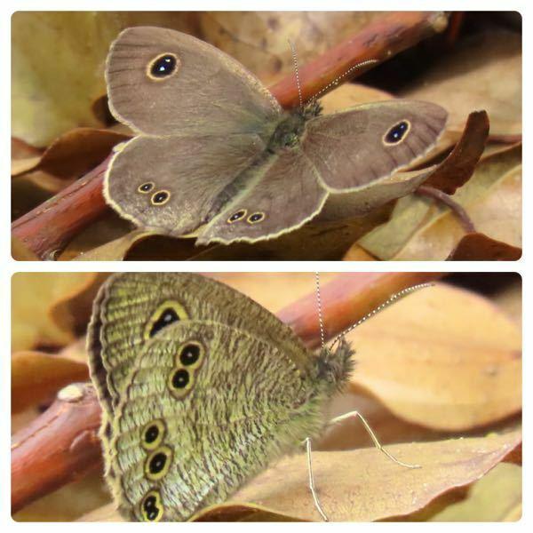 蝶の種類 写真の蝶について 種類が分かる方、ご教示ください。 昨日福岡県で撮影したものです。 ヒメウラナミジャノメでしょうか。 以前撮影したものと、表翅の斑点の数が異なるので気になりました。