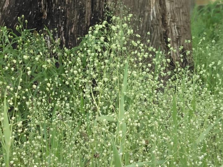 この草は何という草ですか?かすみ草のようにフワフワしていて小さい三角のぺんぺんがたくさん付いています! 一面に生えていてとても綺麗でした!