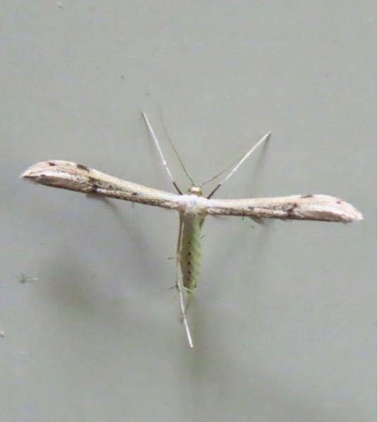 蛾の種類 写真のトリバガについて 種類が分かる方、ご教示ください。 昨日福岡県で撮影したものです。