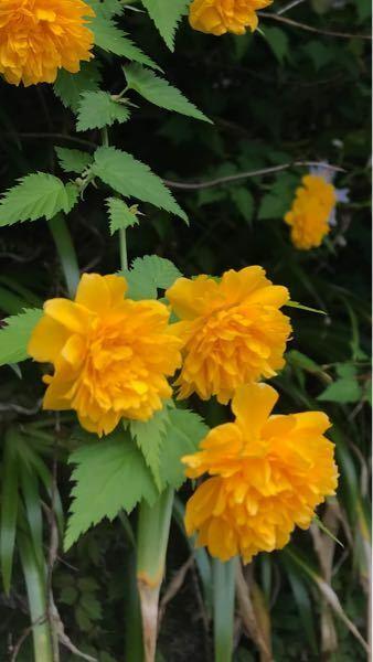 これは何という名前の花ですか?