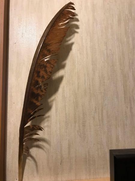 これは何の鳥の羽根でしょうか? 家の前に落ちていました。 あまりにも大きいので詳しい方教えてください。 長さは45cmほど、幅は5cm位で、芯は先が太く、羽根の部分に二本の筋のように見えます。 是非教えてください。 よろしくお願い申し上げます。