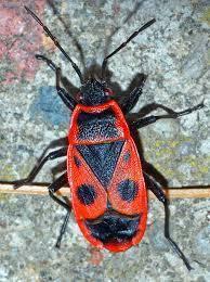 このカメ虫?の名前分かりますか? 英語ではfire bugです。