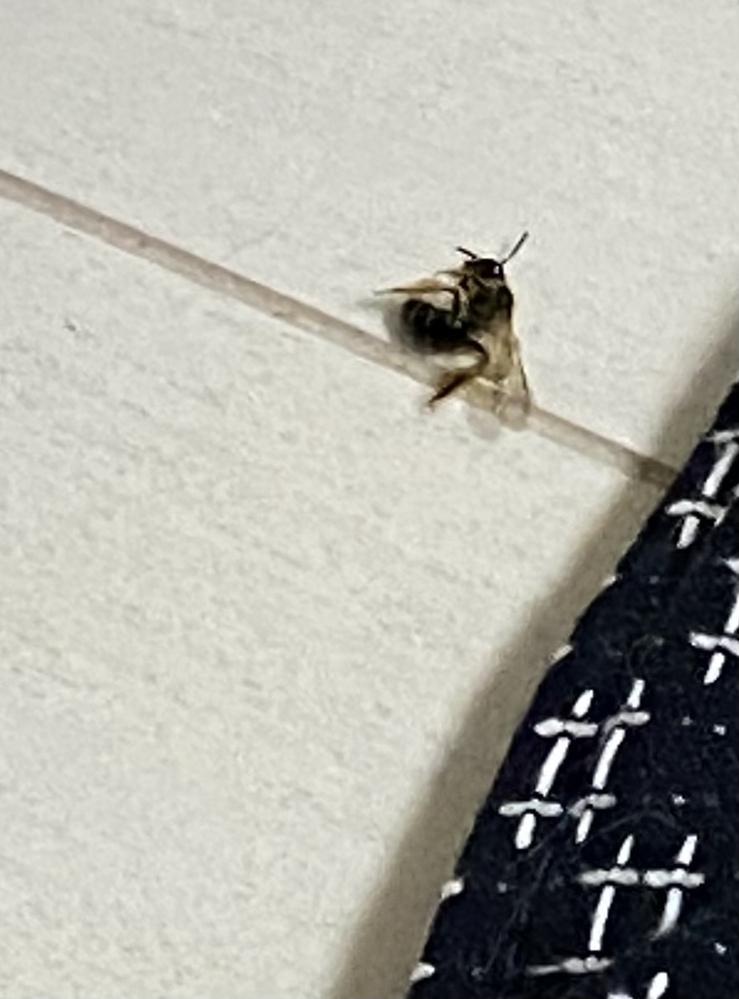 【虫画像注意です】 部屋の中に居たのですがこれはなんの虫でしょうか。 黒っぽく、しましま模様?体長は1~2cm程です。