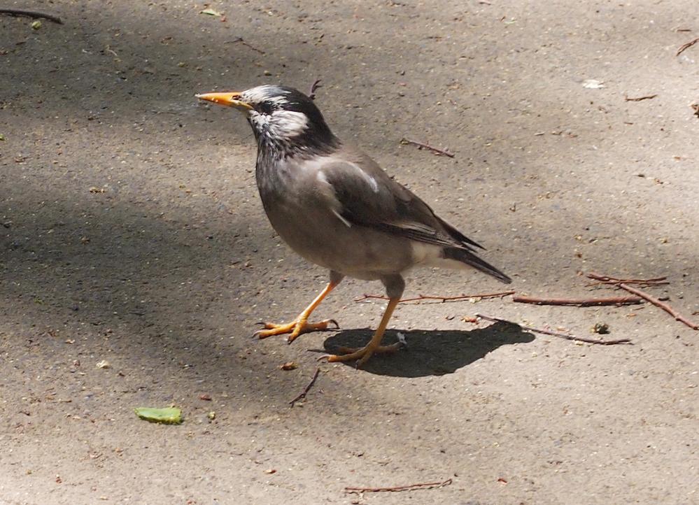 この鳥の名前はわかりますか? 公園でよく見かけます。 よろしくお願いします。