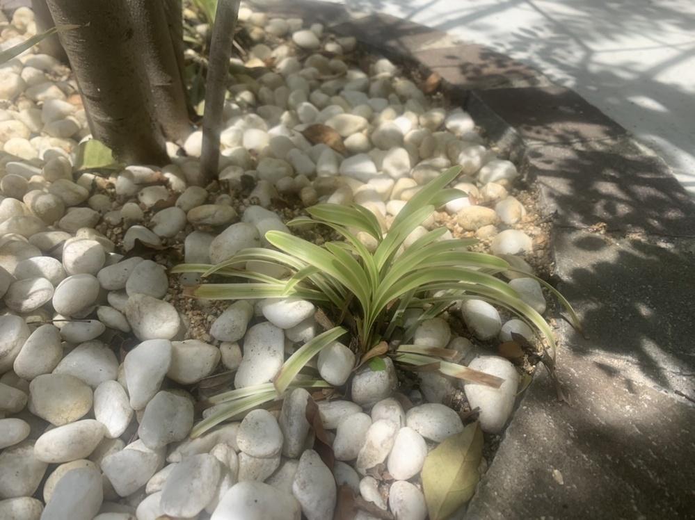 こちらの植物の名前をお教えいただけませんでしょうか。 現在シマトネリコの足元に植えているのですが、去年葉の先が枯れ?焼け?で真っ黒になってしまい、世話の仕方を調べるために教えて貰えれば幸いです。