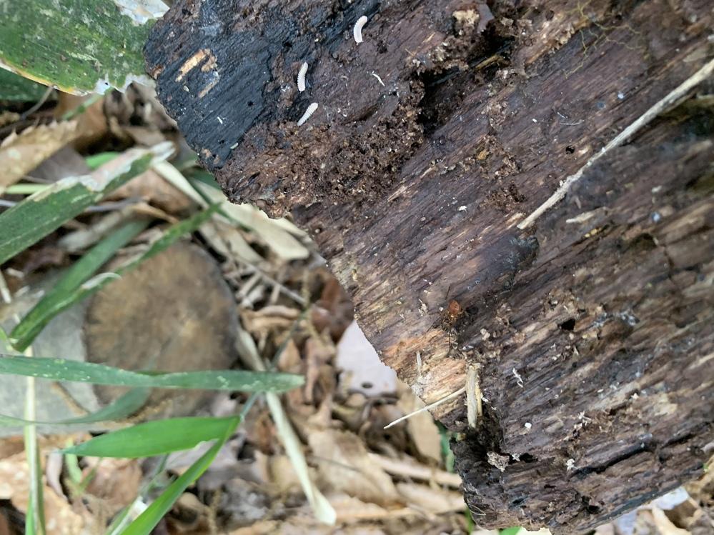 この木に付いている白いのははなんと言う虫?幼虫?ですか(画像上部)。 あと蜘蛛の名前もわかりません…(画像中央付近)。 詳しい方教えてください。 よろしくお願いします。
