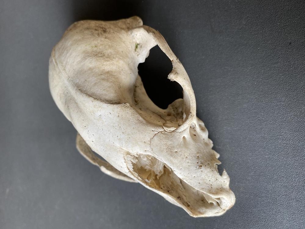 今日田んぼの周りの草刈りしてたら出てきたのですが何の頭蓋骨かわかりますか?