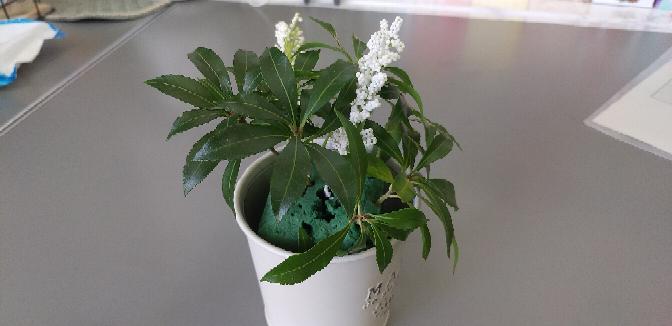 この植物の名前を知りたいです。 フラワーアレンジメントの中にあったこの植物の名前を知っている方がいたら教えてください。 花は枯れてしまいましたが、もう1ヶ月以上青々としています。オアシスに挿しています。白い花は造花で私が付け加えたものです。 葉っぱ1枚の長さは3~4センチです。 とても綺麗なので自分で育てられるなら育ててみたくなりました。 よろしくお願いします。