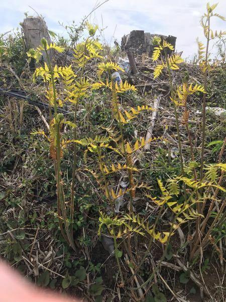 このシダ植物はなんですか?
