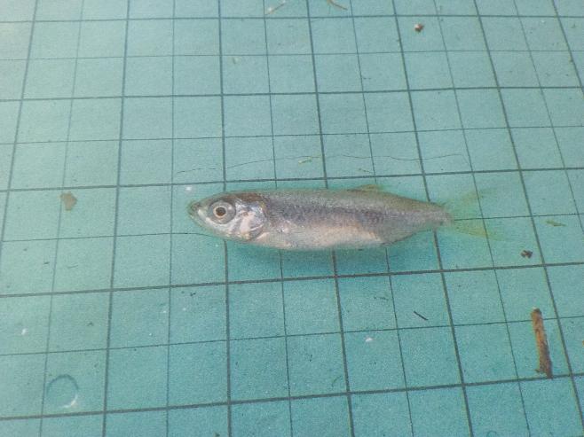 この魚ってなんですか??